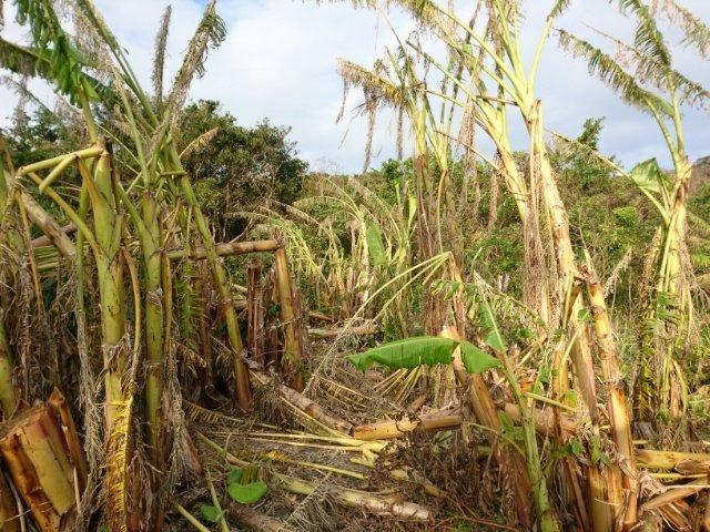 バナナ畑の台風被害