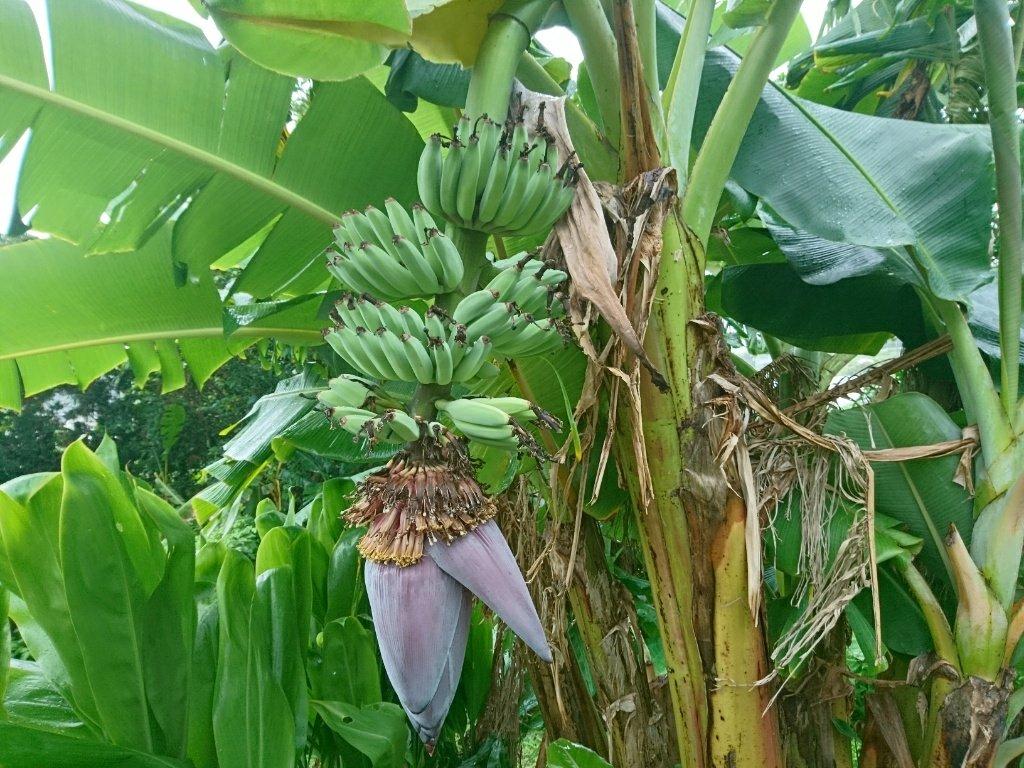ベジタブルバナナ