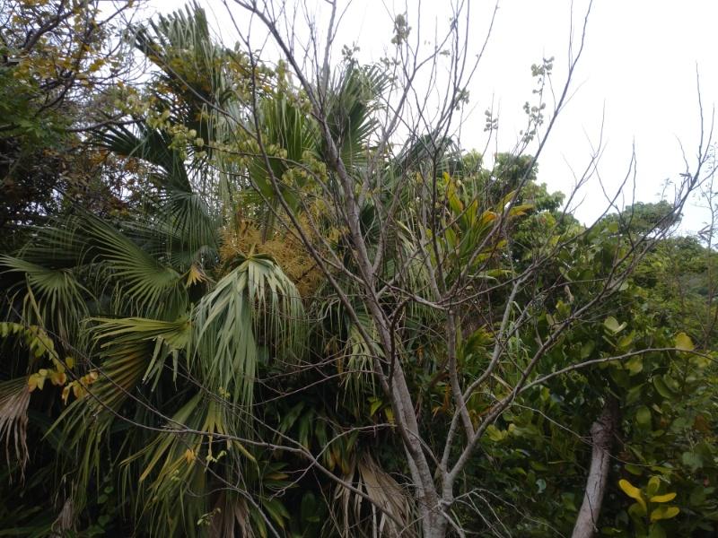 弱ったスターフルーツの木