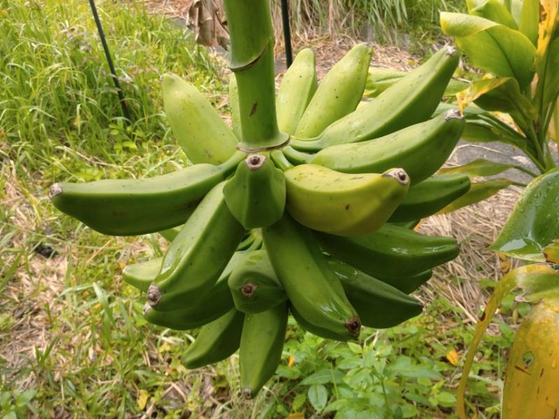 ドワーフオリノコバナナ